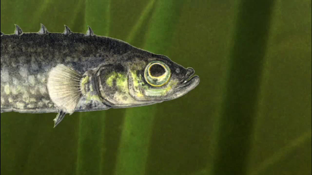 Short History of Minnows